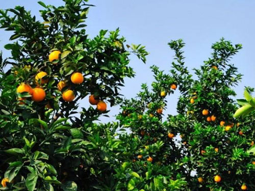 What are the benefits of using anti-insect nets when growing citrus?